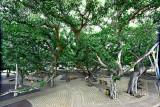Lahaina Banyan Tree #6