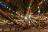 Lahaina Banyan Tree at Christmas