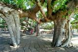 Lahaina Banyan Tree #3