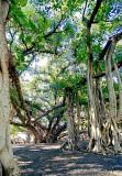 Lahaina Banyan Tree #5