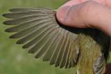 possible Iberian Chiffchaff (Phylloscopus ibericus)