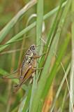 Roesel's Bush Cricket (Metrioptera roeseli)