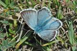 Chalkhill Blue (Lysandra coridon)