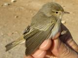 Eastern Bonelli's Warbler (Phylloscopus orientalis)
