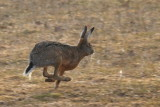 Mountain Hare / Skogshare
