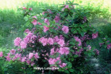 'Holly's Late Pink'