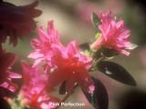 'Schroeder's Pink Perfection'