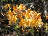 austrinum Fragrant Yellow *
