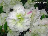 'Nancy Lynn'