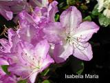 'Isabella Maria'