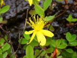 Hypericum buckleyi