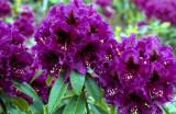'Purple Splendour'...