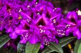 'Purple Splendour'
