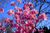 mucronulatum 'Cornell Pink'