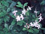 arborescens rubra