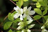 <i>kaempferi leucanthum</i>