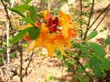 austrinum x 'Hotspur Yellow'