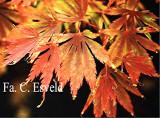 Acer palmatum Fascination