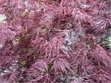 Acer palmatum 'Ruby Lace'