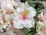 'Sandy Dandy'