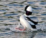 Birds Buffleheads