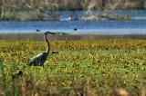 Blue Heron: Brazos Bend State Park