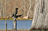 Cormorant: Brazos Bend State Park