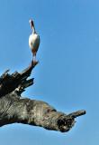 Ibis: Brazos Bend State Park