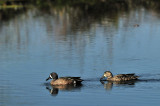 Teal: Brazos Bend State Park