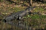 Big gator: Brazos Bend State Park
