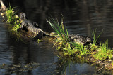Young gators: Brazos Bend State Park