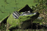 Pond scum: Brazos Bend State Park
