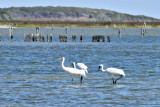 Whooping Cranes: Rockport, Texas