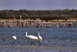 Whooping Cranes: Rockport, Texa