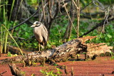 APR_2014 Yellow Crowned Night Heron