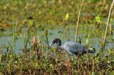 BRZ_0943 Blue Heron