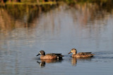 BRZ_-0970 Blue Winged Teal