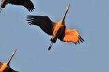 FEB_0749: Sandhill Cranes