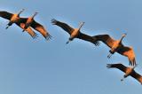 FEB_0746: Sandhill Cranes
