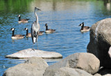 CO2_4957: Blue Heron, Canadas