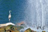 CO2_4998: Blue Heron, fountain, Colorado Springs
