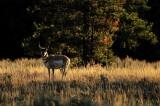 WY3_8483 Antelope buck
