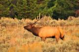 YS1_8578:  Bull elk
