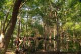 MER_4580 Cypress Swamp: Mercer Arboetum