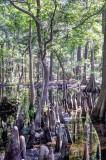 MER_4618-20 Cypress Swamp: Mercer Arboetum