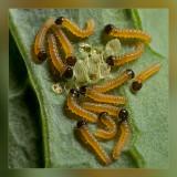 rupsen__caterpillars