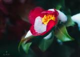 Camellia Sasanqua in Snow