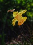 A Daffodil for St David
