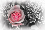 The 45th Rose