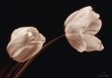 Tulips in Tone